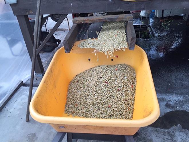 コーヒ豆の洗浄